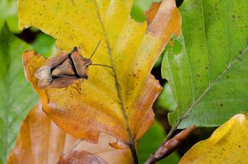 Herbst-Anfang, makro Baumwanze