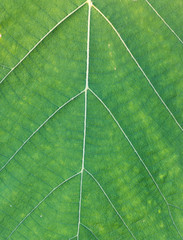 Green Teak leaf close up