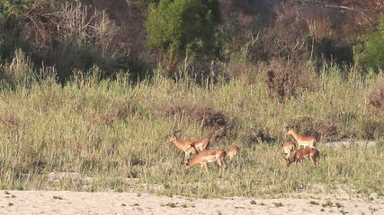 A herd of wild Impala rams feeding in a dry riverbed