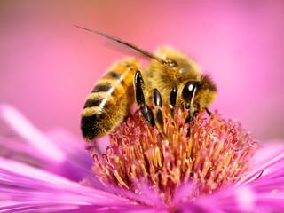 Biene auf Astern