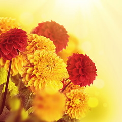 Colorful autumn chrysanthemums with flares, floral background