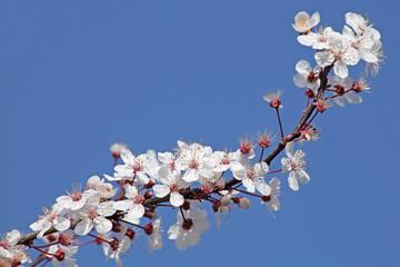 prunier en fleurs