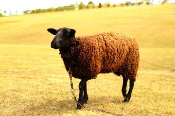 サロマの羊