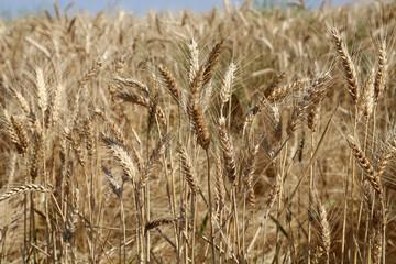 Wheat field up close