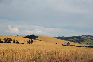 Beautiful field of wheat and barn