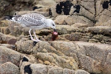Seagull eating fish head