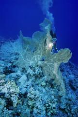 SUDAN, Red Sea, tropical Sea Fan and a diver
