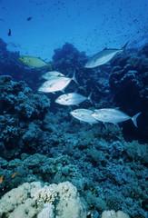 SUDAN, Red Sea, Sanghaneb Reef, a school of Jacks