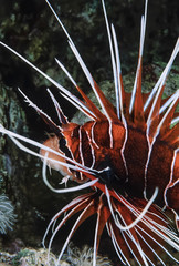 SUDAN, Red Sea, Scorpion fish (Pterois radiata)