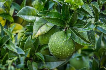 Orangenbaum, grün