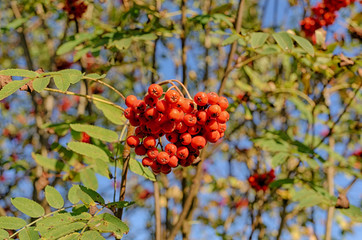 ripe mountain ash