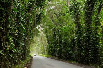 Scenic drive under liana covered trees in Kauai