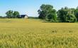 Barn in Wheat Field