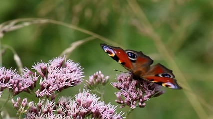 Butterfly on flower collects nectar oregano.