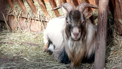 goat with horns lying on the grass
