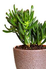 Houseplant Crassula Hobbit