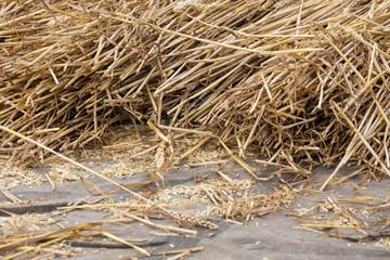 Cereals at a threshing floor