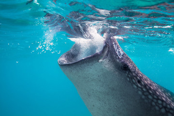 Underwater shoot of a gigantic whale sharks ( Rhincodon typus)