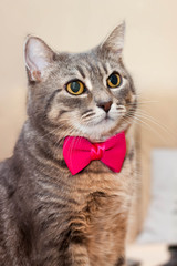 gray domestic cat portrait