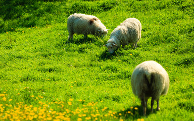 Sheeps on beautiful mountain meadow in Norway