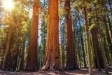 Fototapeta Sequoia vs Man