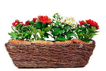 Decoration with chrysanthemum in a basket and pine cones