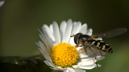 Hover Fly Insect On Flower Daisy