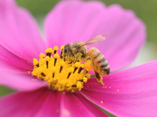 コスモスの蜜を吸うミツバチ