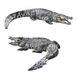 Crocodiles isolated