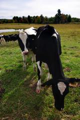Cow ..