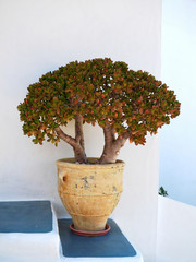 Milos island, Greece, jade plant closeup
