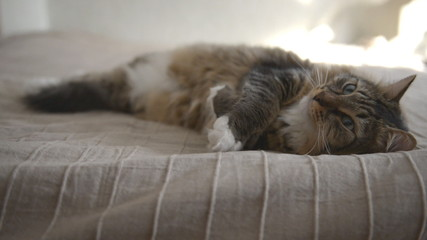 Domestic Cat during resting