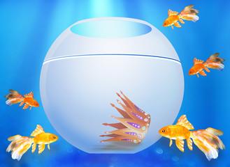 Five goldfishes look in an aquarium