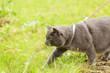 adult british shorthair cat hunting in the grass