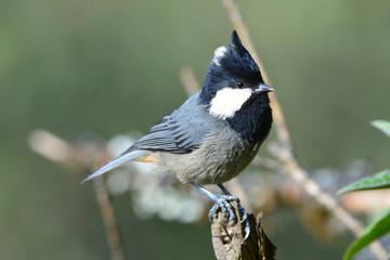ヒマラヤの鳥 カンムリシジュウカラ