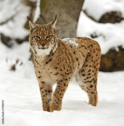 In de dag Lynx Winter Lynx