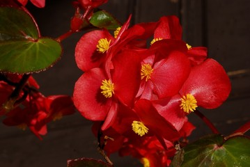 red flowers of begonia