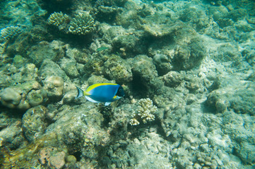 Powder Blue tang, Blue fish above corals reef
