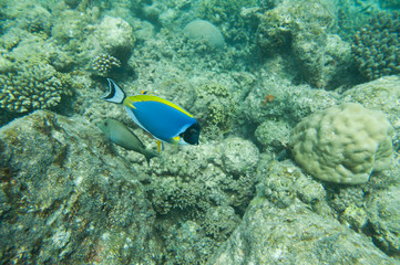 Powder Blue tang, Blue fish swim above corals
