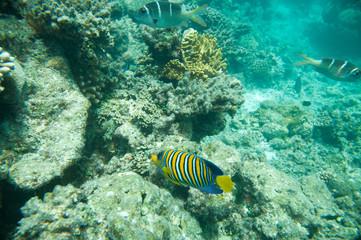 Regal Angelfish, Corals and yellow fish