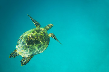 Sea turtle in the blue ocean