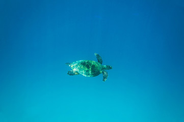Sea Turtle underwater shot