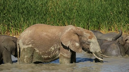 An African elephant bull standing in a waterhole