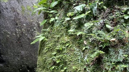 由布川渓谷のシダ類