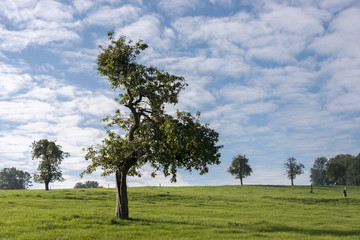 single tree in belgium landscape