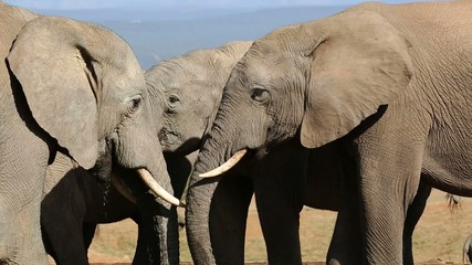 Close-up of African elephants interacting