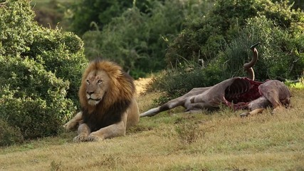 Big male African lion guarding a carcass
