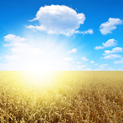 Summer landscape with wheat field and sun sky