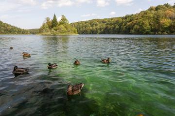 Lac Kozjak et canard à Plitvice-Plitvicka