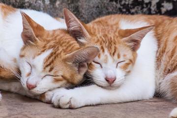 Sleeping twin cat